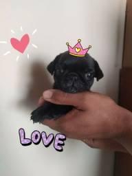 Título do anúncio: Pug black femea com pedigree. Linhagem importada