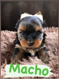 Título do anúncio: Vende-se um casal de yorkshire terrier
