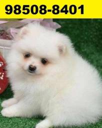 Canil-Filhotes Cães Líder BH Spitz Alemão Poodle Yorkshire Lhasa Shihtzu Maltês