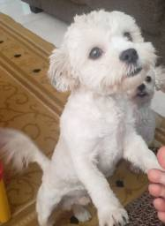 Poodle  com SHITZUS Macho