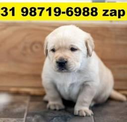 Canil Filhotes Cães Selecionados BH Labrador Pastor Golden Akita Boxer Rottweiler