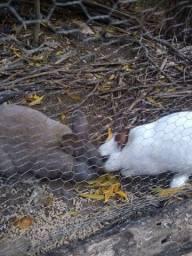 Título do anúncio: Casal jovem de coelho