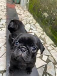 Filhotes de Pug black e abricot