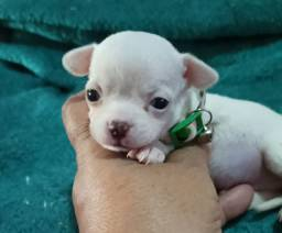 Imperdível! Chihuahua com pedigree