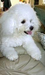 Poodle Fêmea Branca