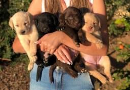 Título do anúncio: Labrador com pedigree e microchip em até 12×