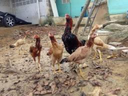 1 galo e 5 galinhas de raça