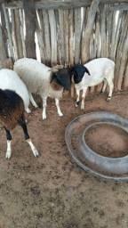 Título do anúncio: Vendo 3 Borregos Com 8 mêses de vida e uma marran de ovelha com 10 mêses.