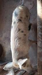 Porca caipira