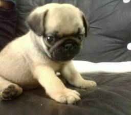 Filhote de cachorro Pug