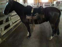 Cavalo Crioulo - castrado