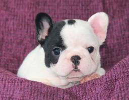 Filhote bulldog fofinho