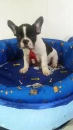 Indo macho de bulldog com 4 meses