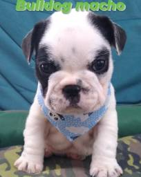 Filhote de bulldog Frances macho