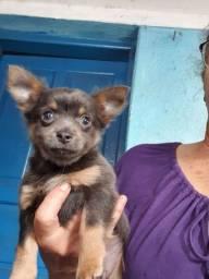 Chihuahua  macho Lindo pequeno.