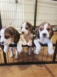 Beagle macho e femea tricolor 13 polegadas