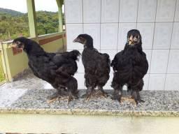 Franguinhos de galinha brahma