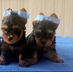 Macho De Yorkshire Terrier Lindo