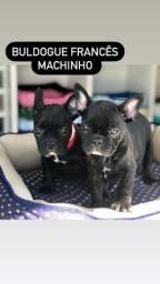 Título do anúncio: Bulldog frances filhotinhos!!