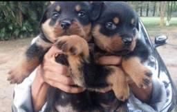 Canil Euro filhotes de Rottweiler de alta qualidade genética