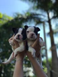 Título do anúncio: Bulldog francês com pedigree e micro chip em até 12x