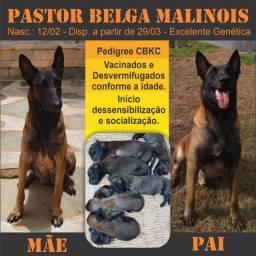 Pastor Belga Malinois