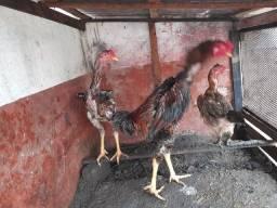 Título do anúncio: Vendo dois frangos carioca,e uma galinha
