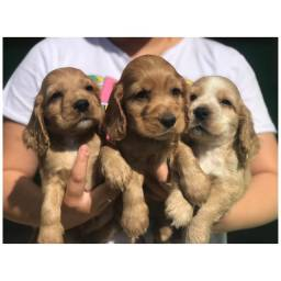Cocker spaniel com pedigree e micro chip em 18x