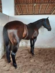 Título do anúncio: Cavalo Quarto de Milha
