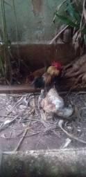 Vendo galo e galinha