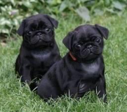 Pug ótimo padrão black