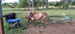 Vendo vaca com terneira