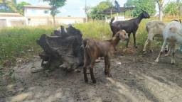 Título do anúncio: Cabritas e cabras