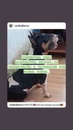 Título do anúncio: Bull Terrier Inglês*****COBERTURA CBKC*****