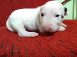 Caniplus Bull terrier
