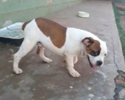 Bulldog campero 3 meses