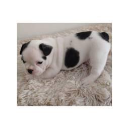 Bulldog frances com pedigree e microchip ate 18x
