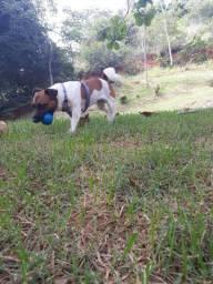 Jack Rosseal terrier