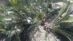 Lindas mudas de planta coca