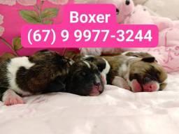 Filhotes de Boxer - Reserve o seu