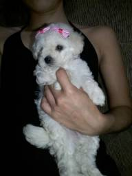 Oportunidade poodle toy fêmea