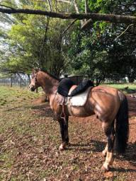 Cavalo Crioulo (cuido)