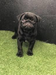 Pug black com pedigree