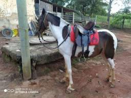Égua pampa - Marcha picada (Comum)