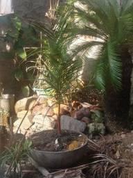 Título do anúncio: Palmeira azul e palmeira laca