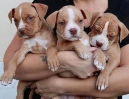 Maravilhosos filhotes de Pitbull