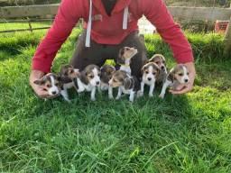 Título do anúncio: Beagle 13 polegadas, bicolor e tricolor, com suporte veterinário gratuito!
