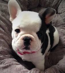 Título do anúncio: Bulldog Francês Filhote com Pedigree e Microchip