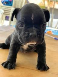 Título do anúncio: Bulldog francês alto padrão