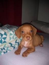 Título do anúncio:  Linda Basset dachshund fêmea caramelo